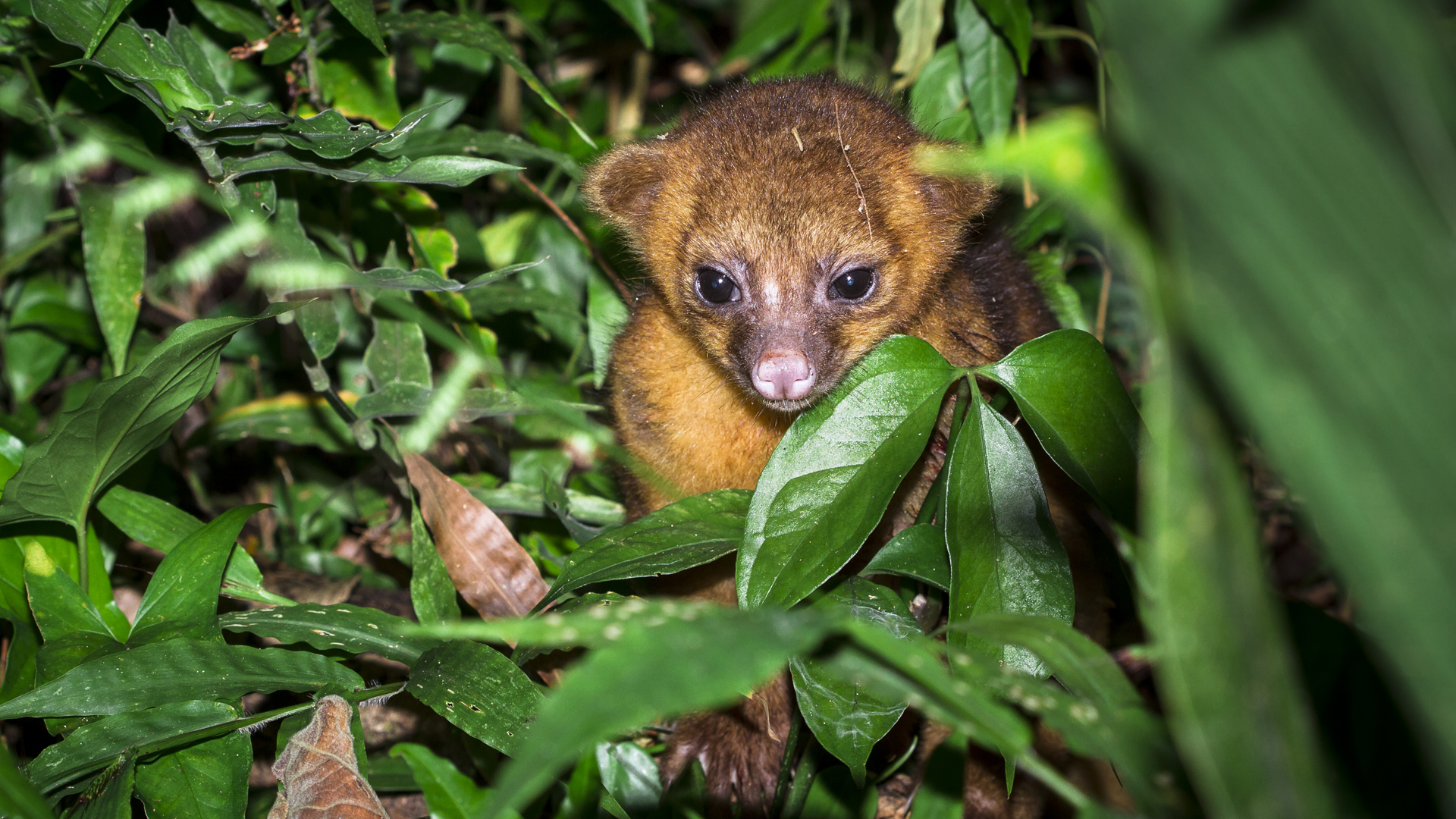 In this file photo, a young kinkajou is seen in the jungle in Belize. (Credit: iStock / Getty Images Plus)