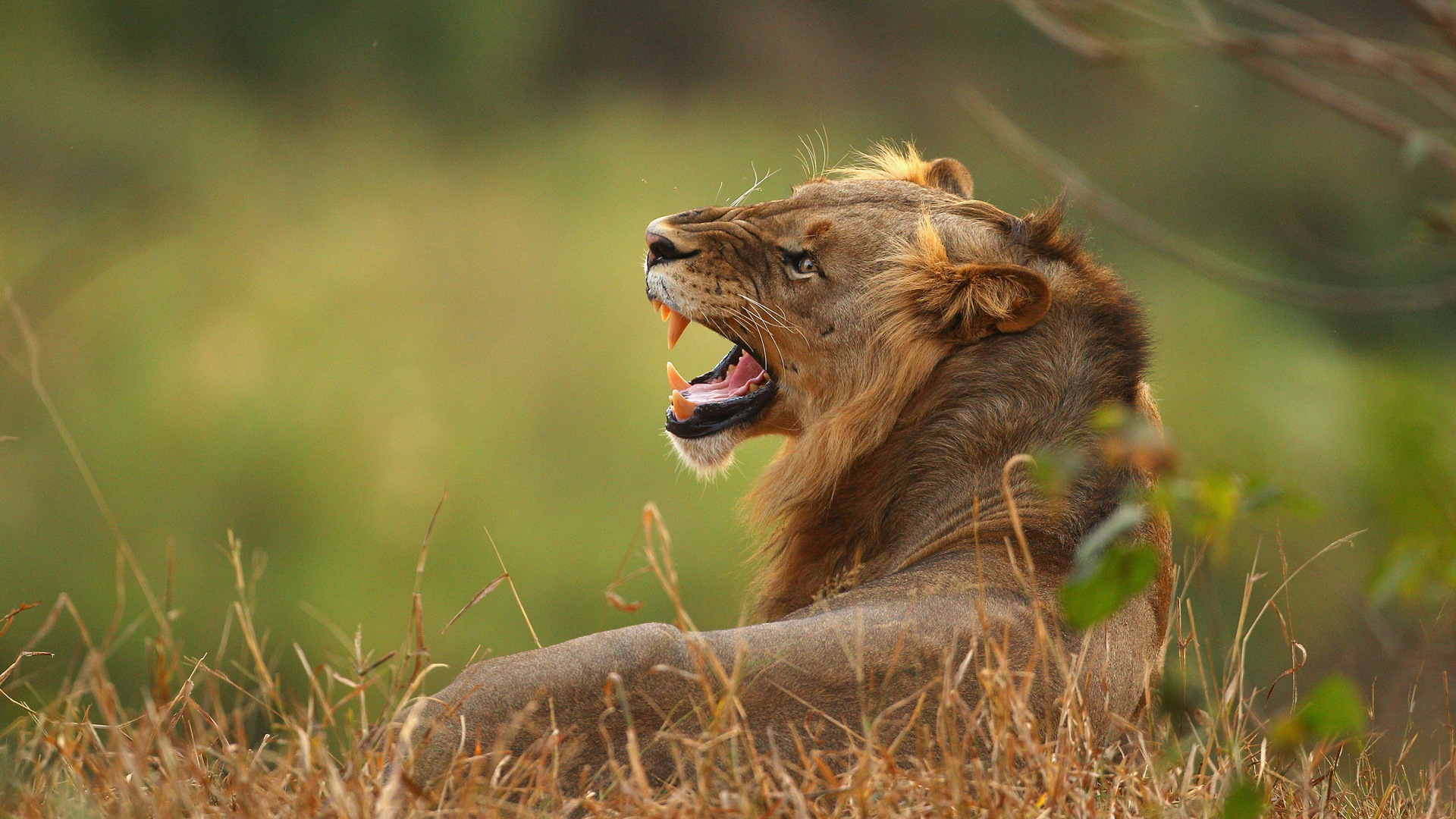 A lion on the banks of the Luvuvhu river at the Pafuri game reserve on July 21, 2010 in Kruger National Park, South Africa. (Credit: Cameron Spencer/Getty Images)