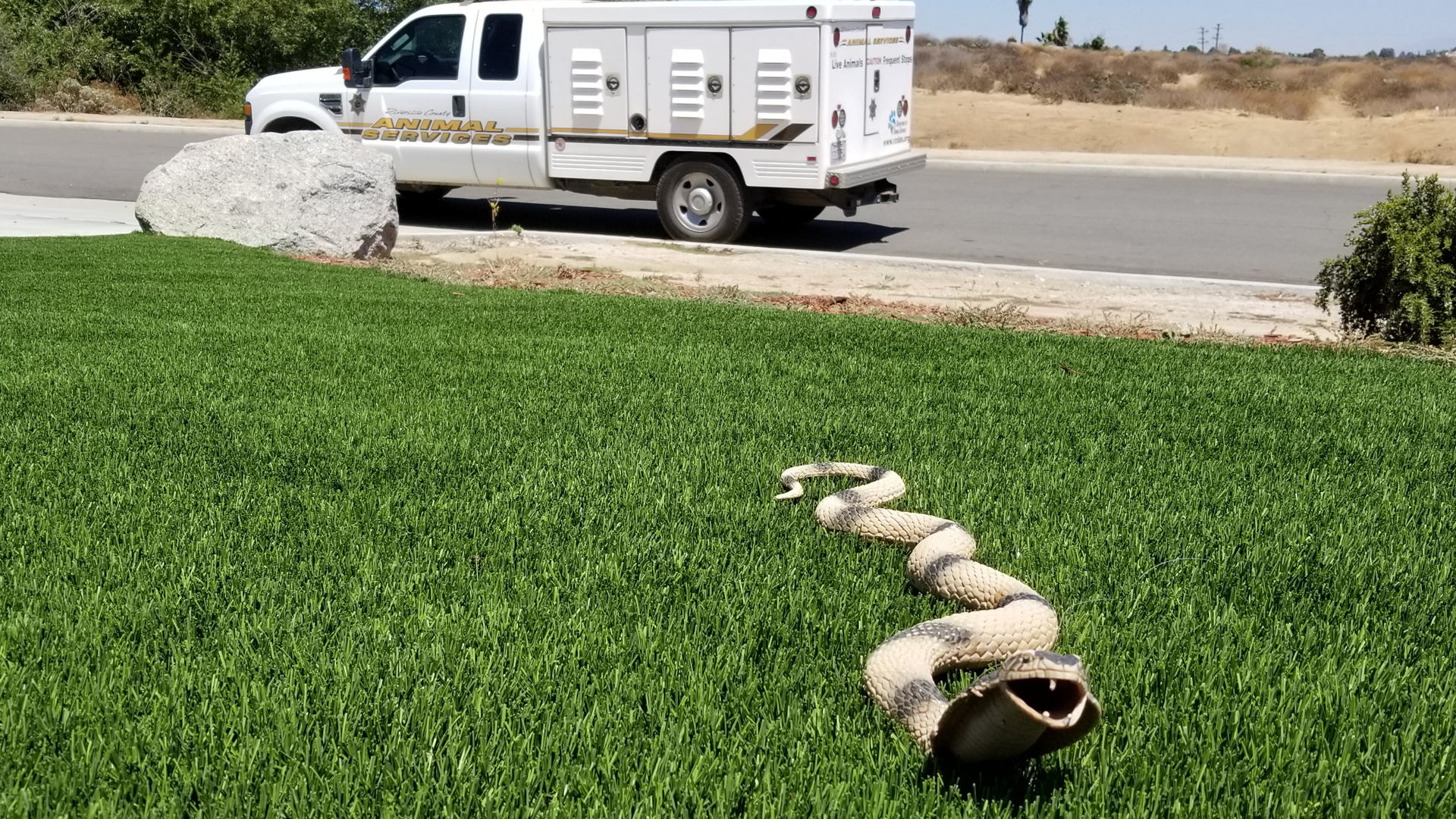 A toy snake prompted an animal services response in Riverside on Aug. 10, 2019. (Credit: Adam Haisten Riverside County Animal Services)