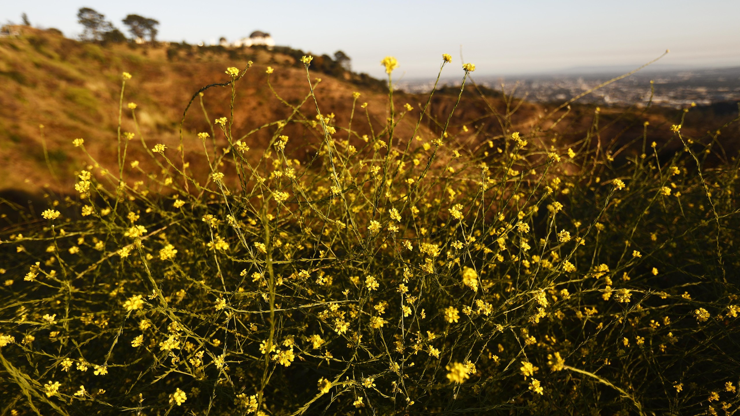 Black mustard plants are seen in Griffith Park on May 28, 2019, in Los Angele. (Credit: Mario Tama/Getty Images)
