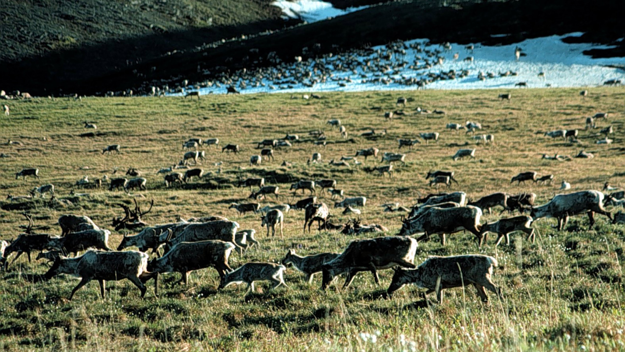Caribou graze in the Arctic National Wildlife Refuge in Alaska in this undated file photo. (Credit: U.S. Fish and Wildlife Service/Getty Images)
