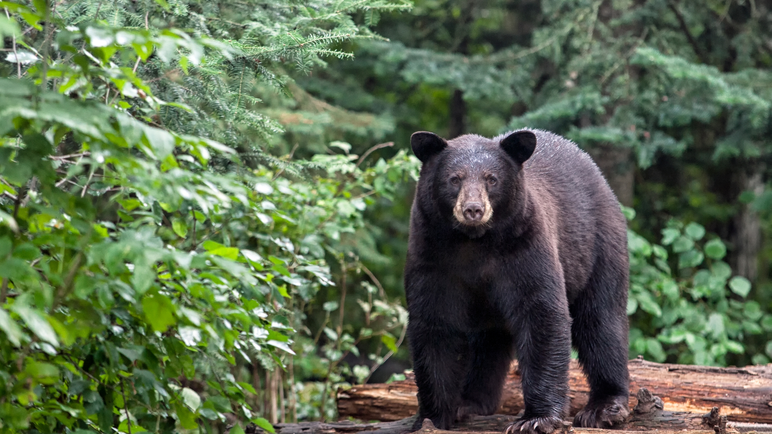 American black bear is seen in northern Minnesota in this undated photo. (Credit: Getty Images)
