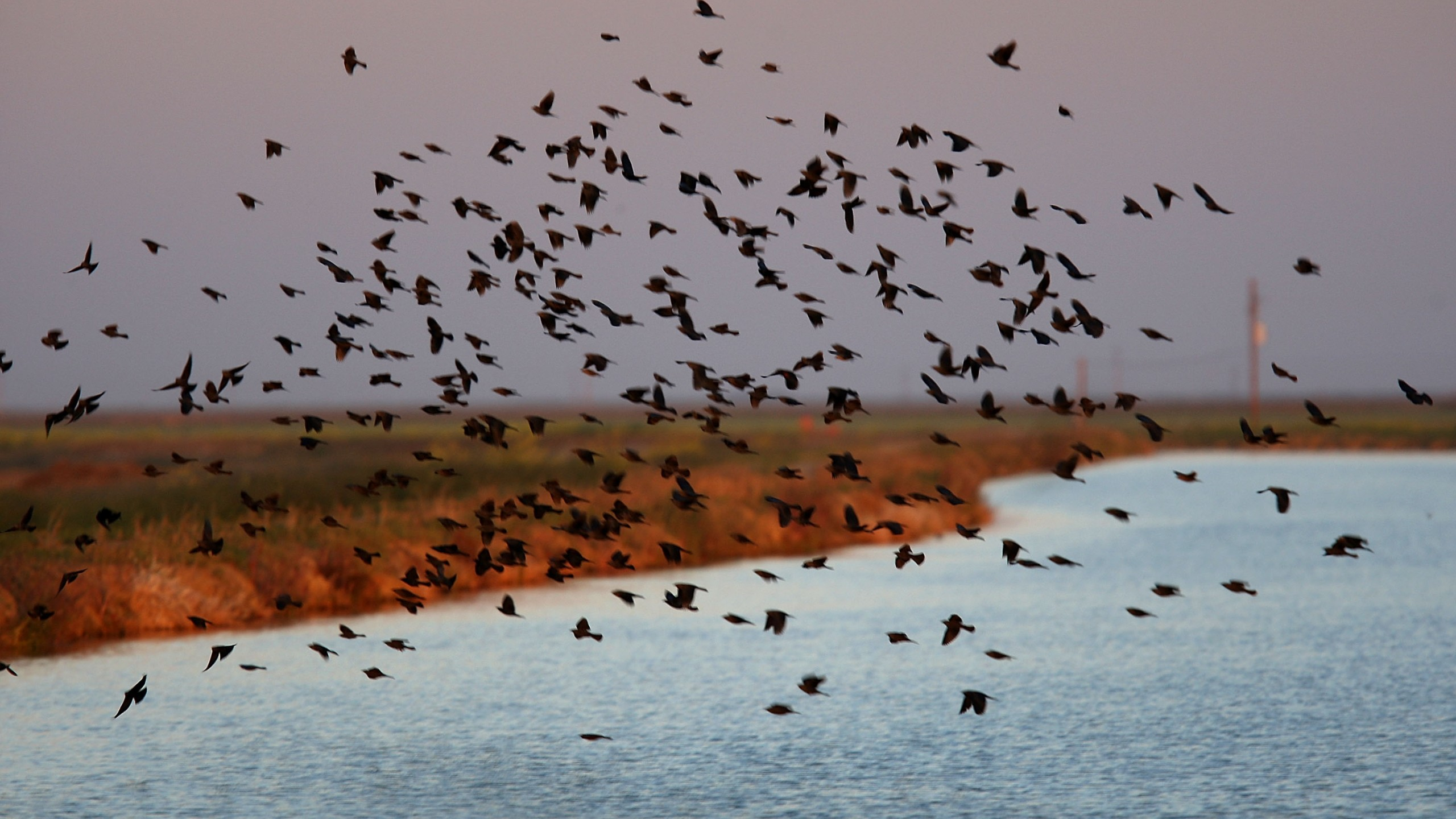 Blackbirds fly over an irrigation canal on April 17, 2009 near Firebaugh in Fresno County. (Credit: David McNew/Getty Images)