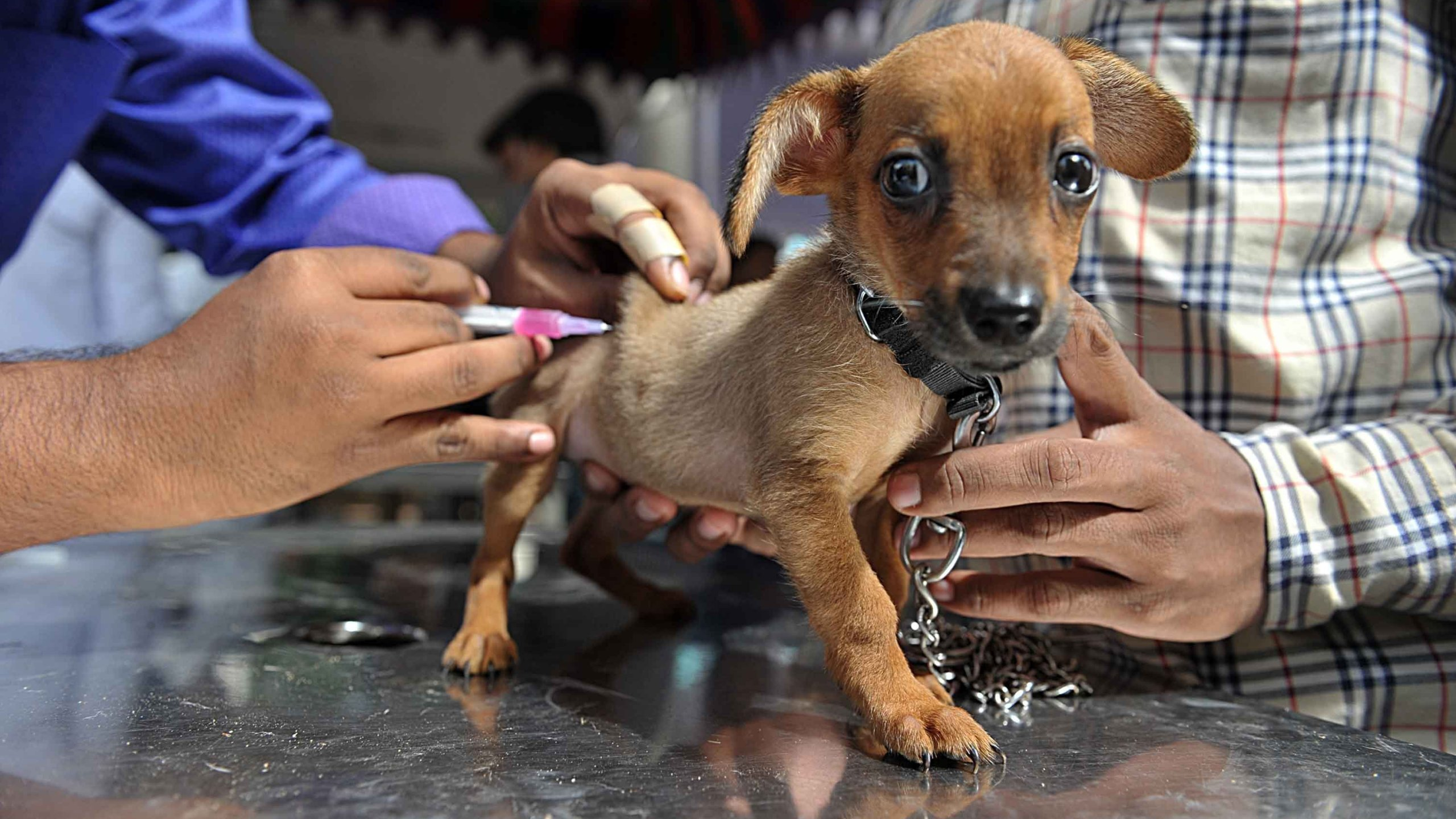British vets are concerned about a dramatic drop in pet vaccination levels. (Credit: Noah Seelam/AFP/Getty Images)