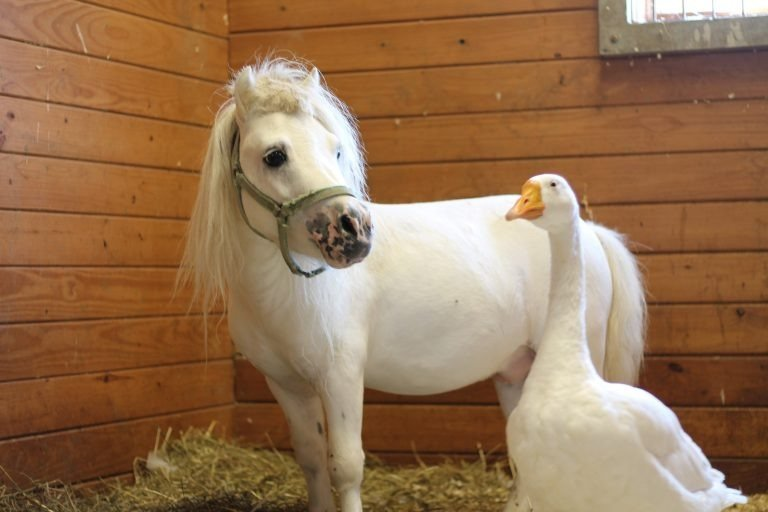 Hemingway the farm goose and Waffles the miniature horse were inseparable roommates at the Society for the Prevention of Cruelty to Animals in Bucks County, Pennsylvania. (Credit: Bucks Co. SPCA via CNN Wire)