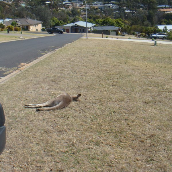 As many as 20 kangaroos are believed to have been run over by a vehicle in a mass slaughter in the Australian state of New South Wales. (Credit: Janine Green via CNN Wire)