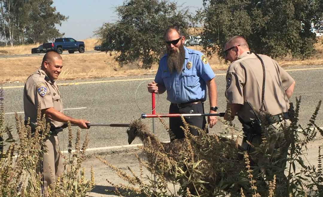 Officers catch an emu after a brief chase on Highway 99 near Fresno on Sep. 13, 2019. (Credit: California Highway Patrol)