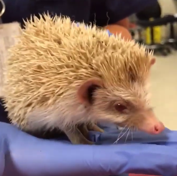 A rare albino hedgehog is seen in video provided by the Riverside County Department ofAnimal Services on Sep. 26, 2019.