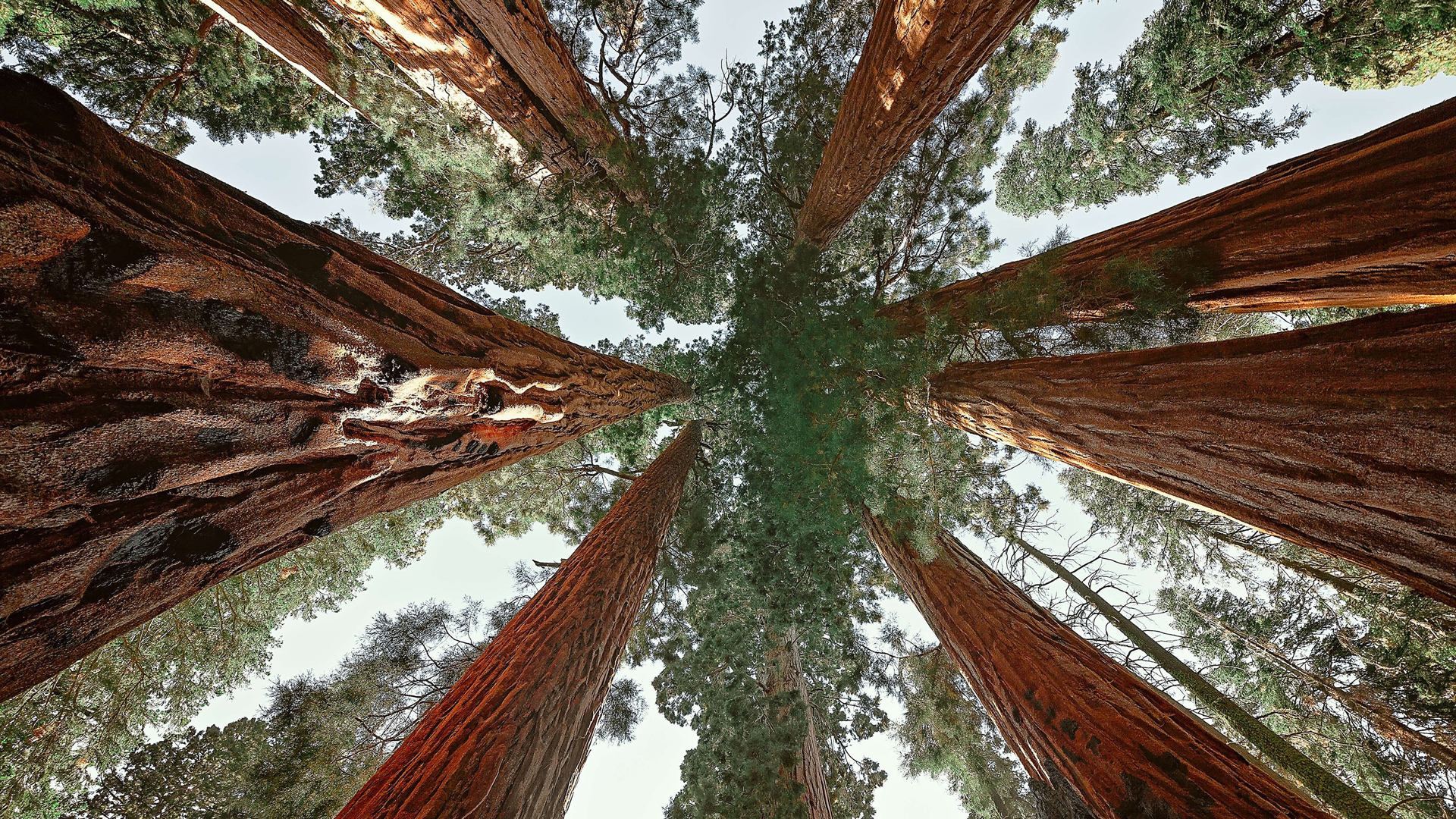 An upward view of giant sequoias in Sequoia National Park. (Credit: Marji Lang/LightRocket via Getty Images)