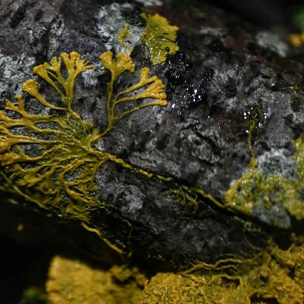 """A picture taken on October 16, 2019 at the Parc Zoologique de Paris shows a Physarum Polycephalum better known as a """"Blob"""", an unicellular organism that is neither plant, mushroom nor animal and capable of learning despite its lack of neuron. (Credit: STEPHANE DE SAKUTIN/AFP via Getty Images)"""