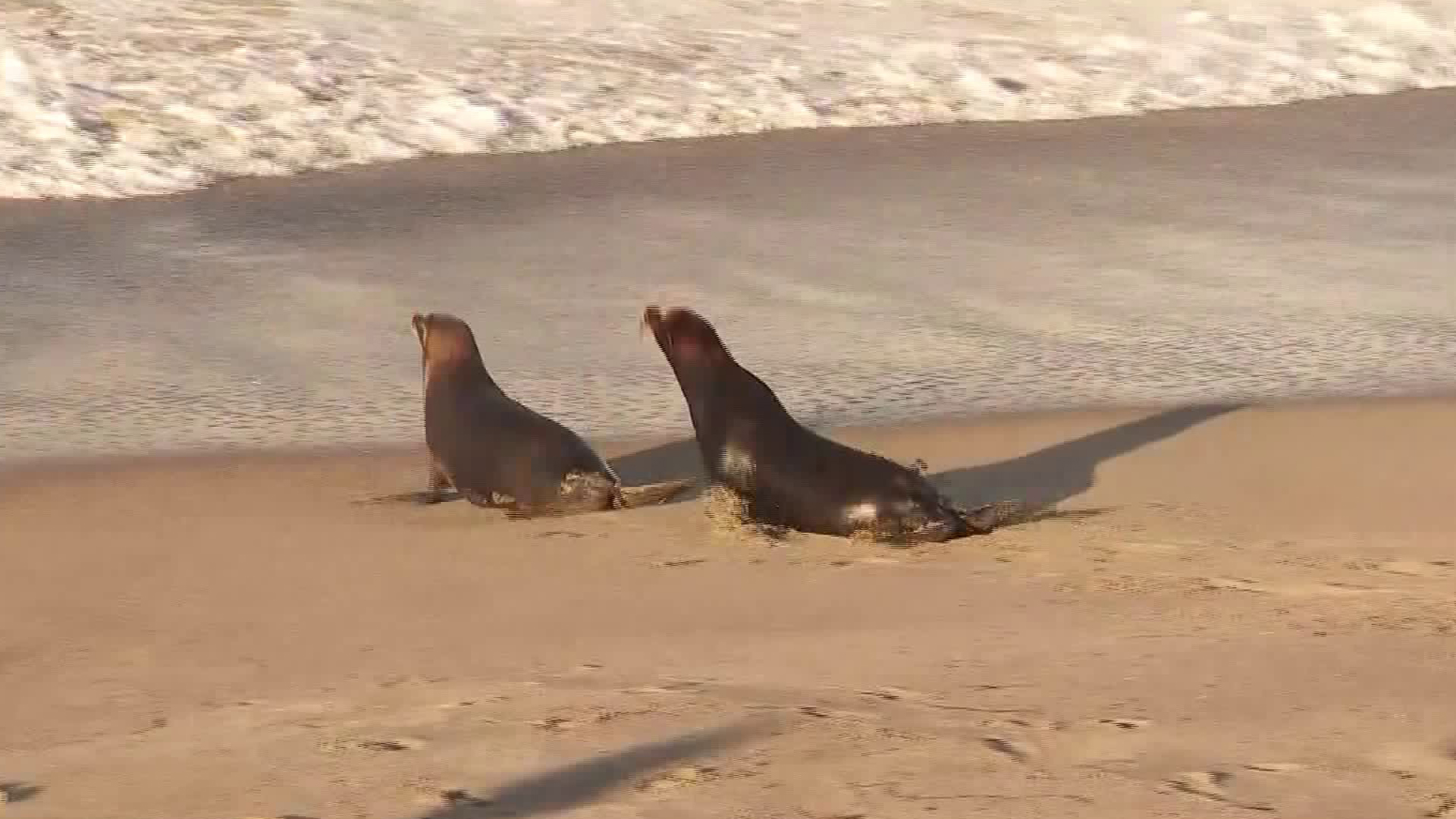 Two marine mammals were released into the Pacific Ocean on Oct. 15, 2019, by the Pacific Marine Mammal Center (Credit: KTLA).