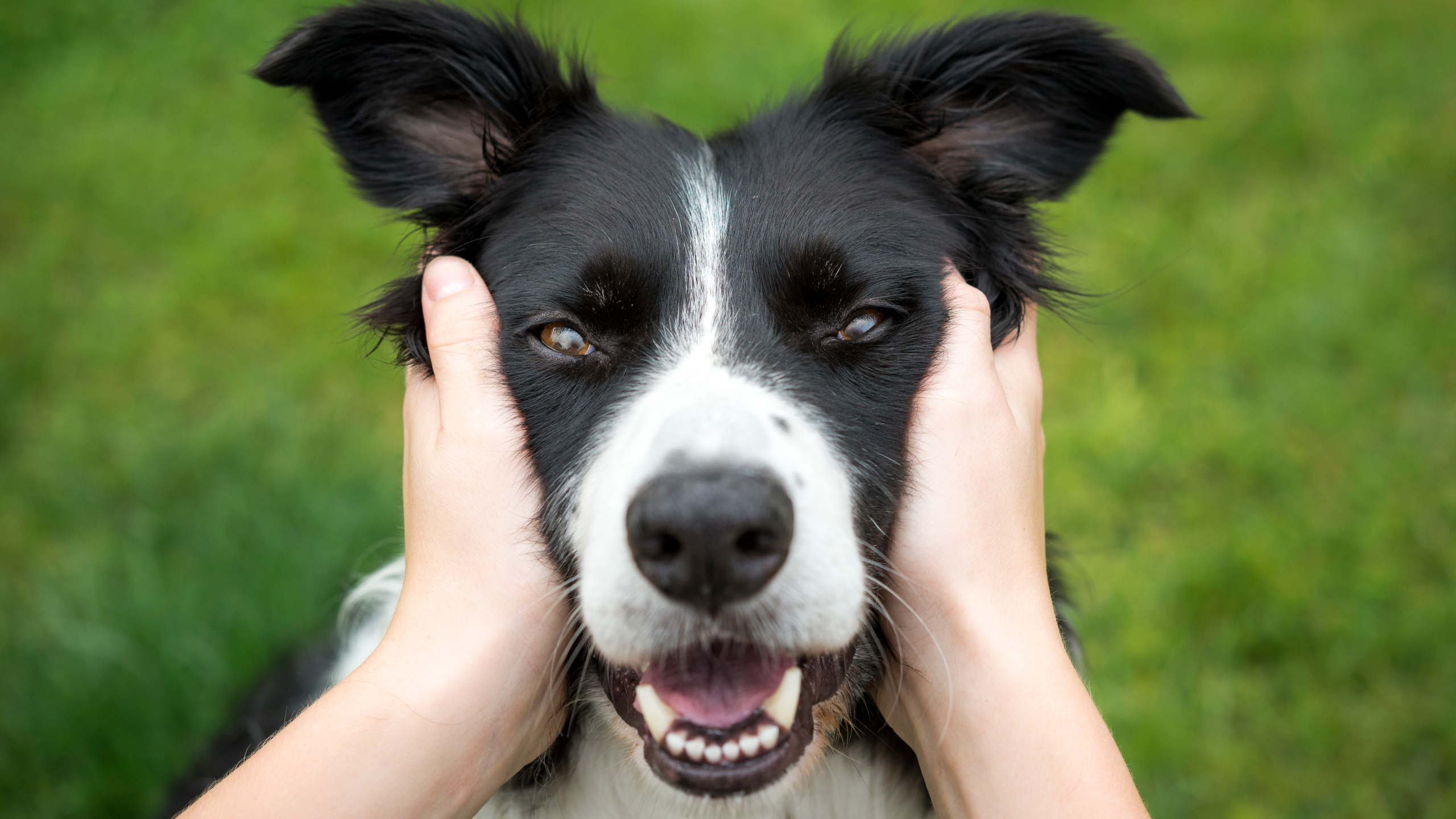 A Border Collie is seen in this file photo. (Credit: Getty Images)
