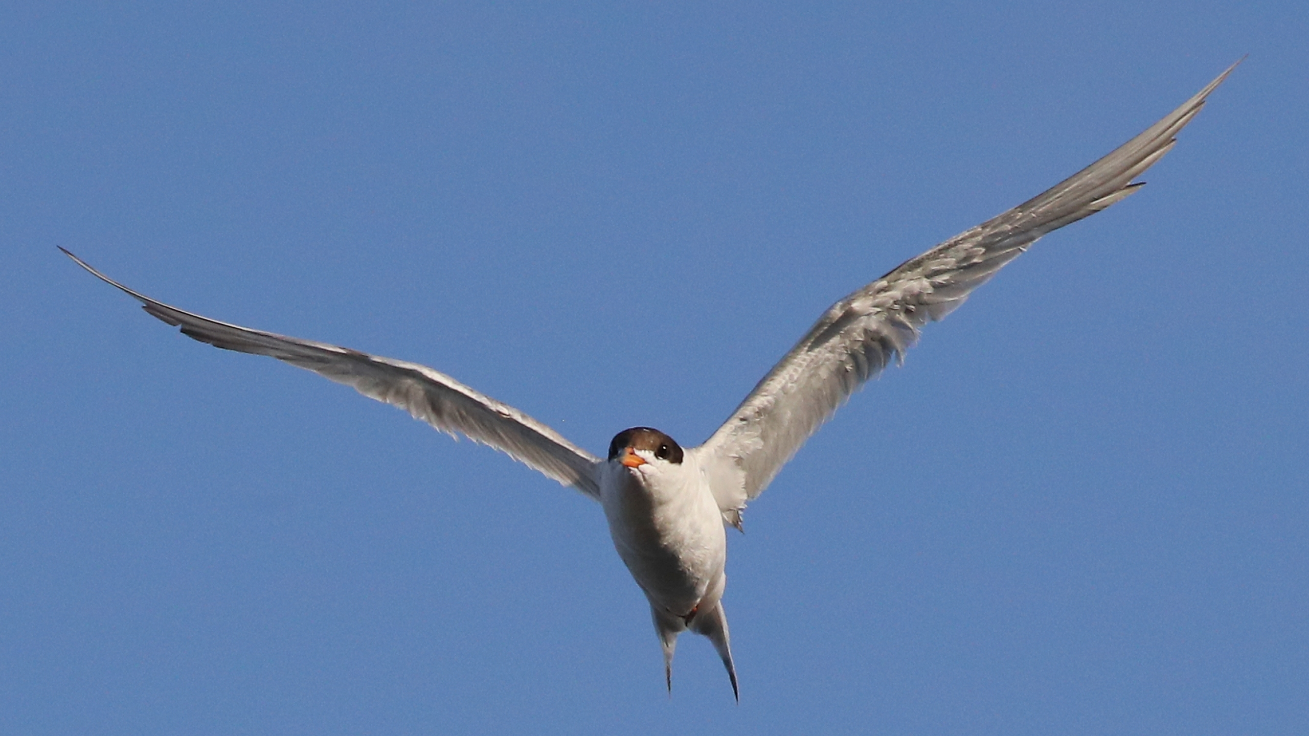 A least tern flies over Mill Pond on Aug. 2, 2018 in Centerport, New York. (Credit: Bruce Bennett/Getty Images)