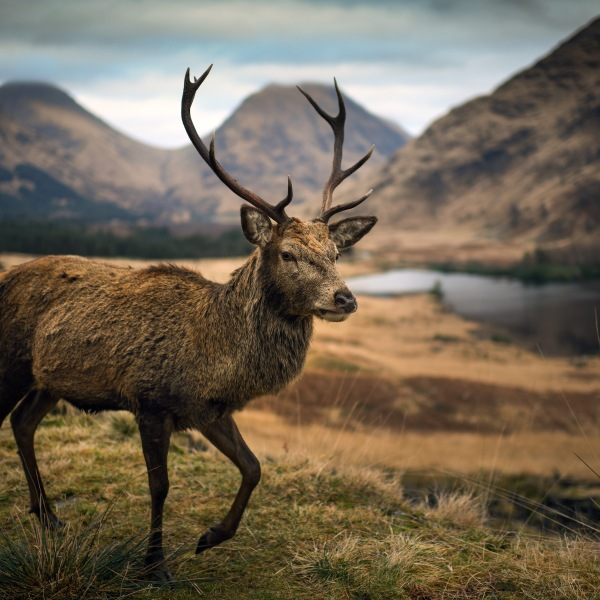 In this photo from Jan. 4, 2019, a deer grazes in the Highlands in Glen Etive, Scotland. (Credit: Jeff J Mitchell/Getty Images)