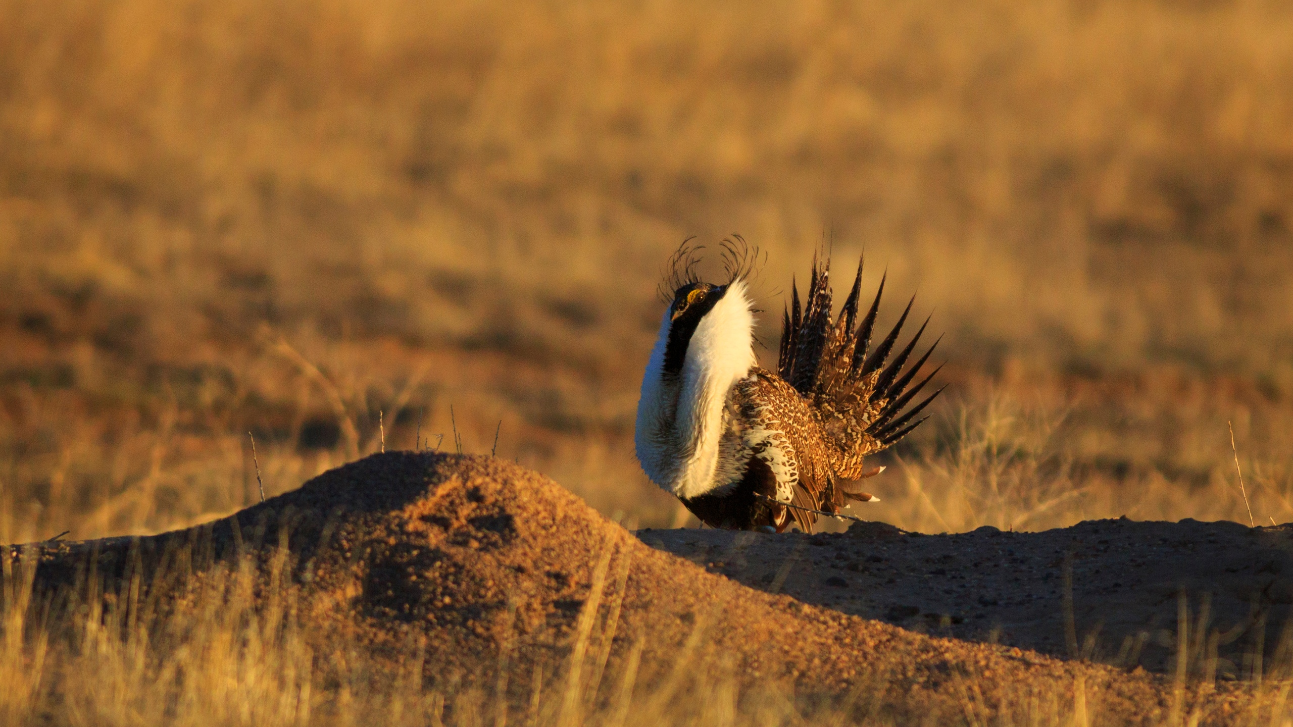 A greater sage grouse is seen in southern Utah in this undated file photo. (Credit: Getty Images)