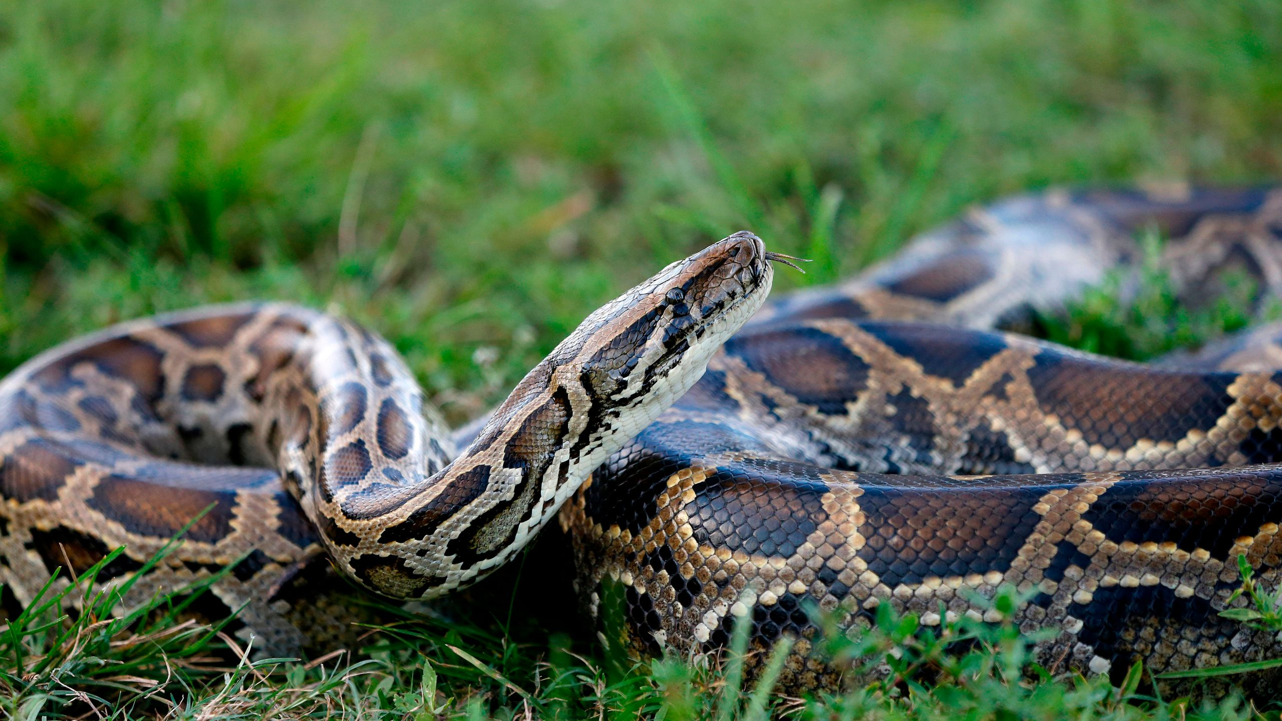 A Burmese python sits in the grass at Everglades Holiday Park in Fort Lauderdale, Florida, on April 25, 2019. (Credit: Rhona Wise / AFP / Getty Images)