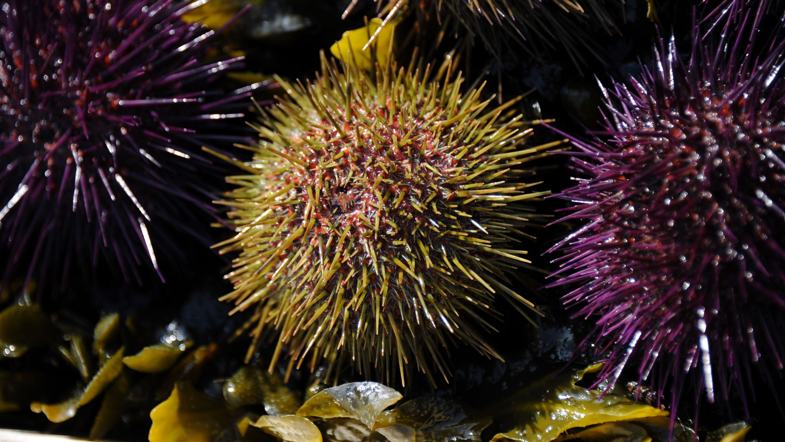 A photo from March 18, 2015 shows purple and green sea urchins in La Flotte-en-Re, France. (Credit: XAVIER LEOTY/AFP/Getty Images)