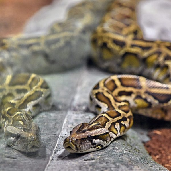 A reticulated python is seen in its enclosure at the Singapore Zoo's new Reptopia exhibit during a media preview on May 24, 2017. (Credit: ROSLAN RAHMAN/AFP via Getty Images)