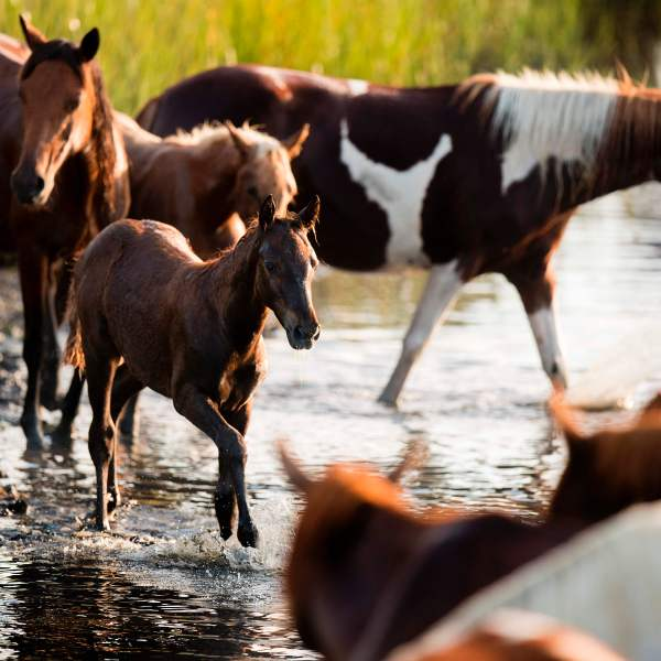A young foal runs with other Assateague wild ponies during the annual Chincoteague Island Pony Swim in Chincoteague Island, Virg., on July 26, 2017. (Credit: JIM WATSON/AFP/Getty Images)
