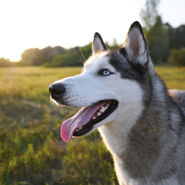 A husky is seen in a file photo. (Credit: iStock/Getty Images Plus)