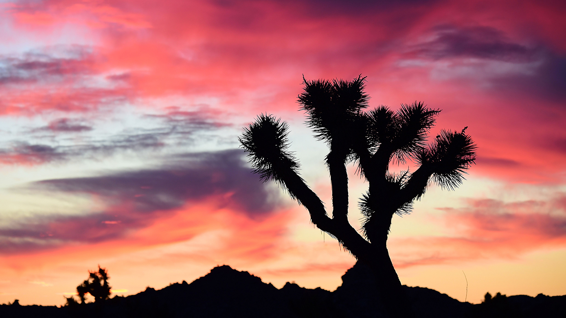 A Joshua Tree is framed by sunlit clouds before dawn in Pioneertown, in the Mojave Desert, on January 25, 2016. (Credit: ROBYN BECK/AFP/Getty Images)