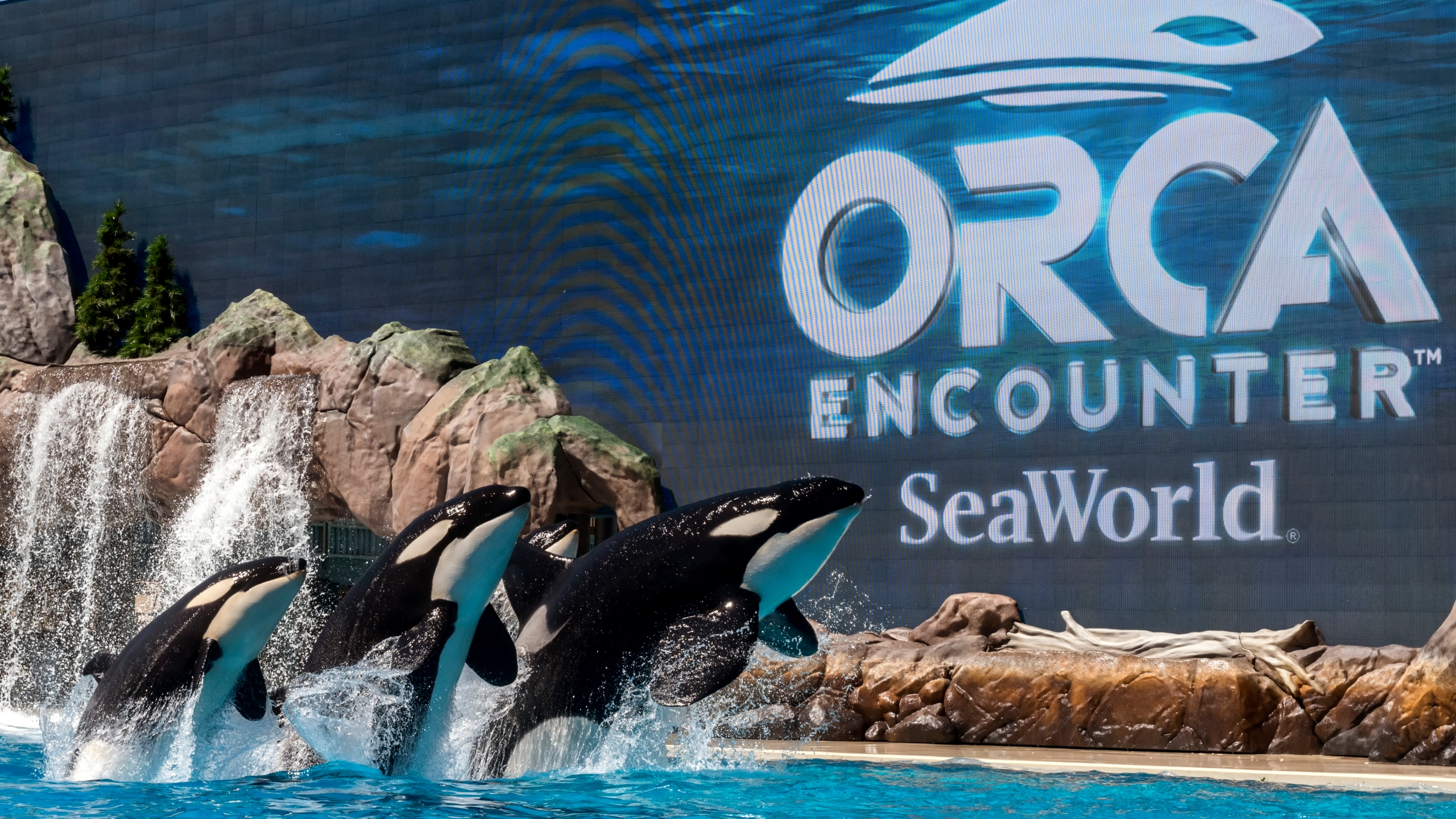 Orcas are seen at SeaWorld San Diego in this undated photo. (Credit: Mike Aguilera/SeaWorld San Diego)