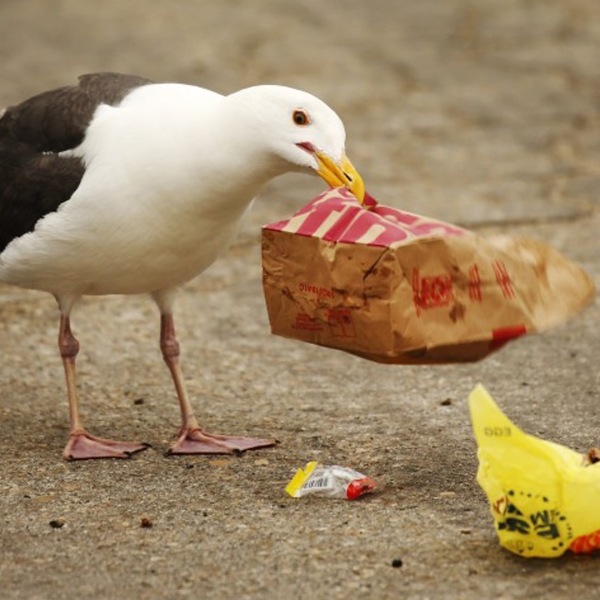A Western sea gull digs for food in discarded fast food packaging in Oxnard in this undated photo. (Credit: Los Angeles Times)