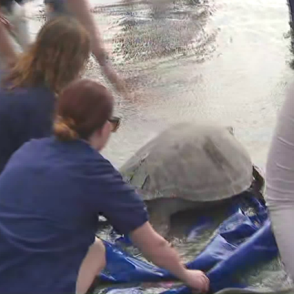 Staffers with the Aquarium of the Pacific released a 160-pound sea turtle back into the wiled near the mouth of the San Gabriel River in Seal Beach on Oct. 8, 2019. (Credit: KTLA)