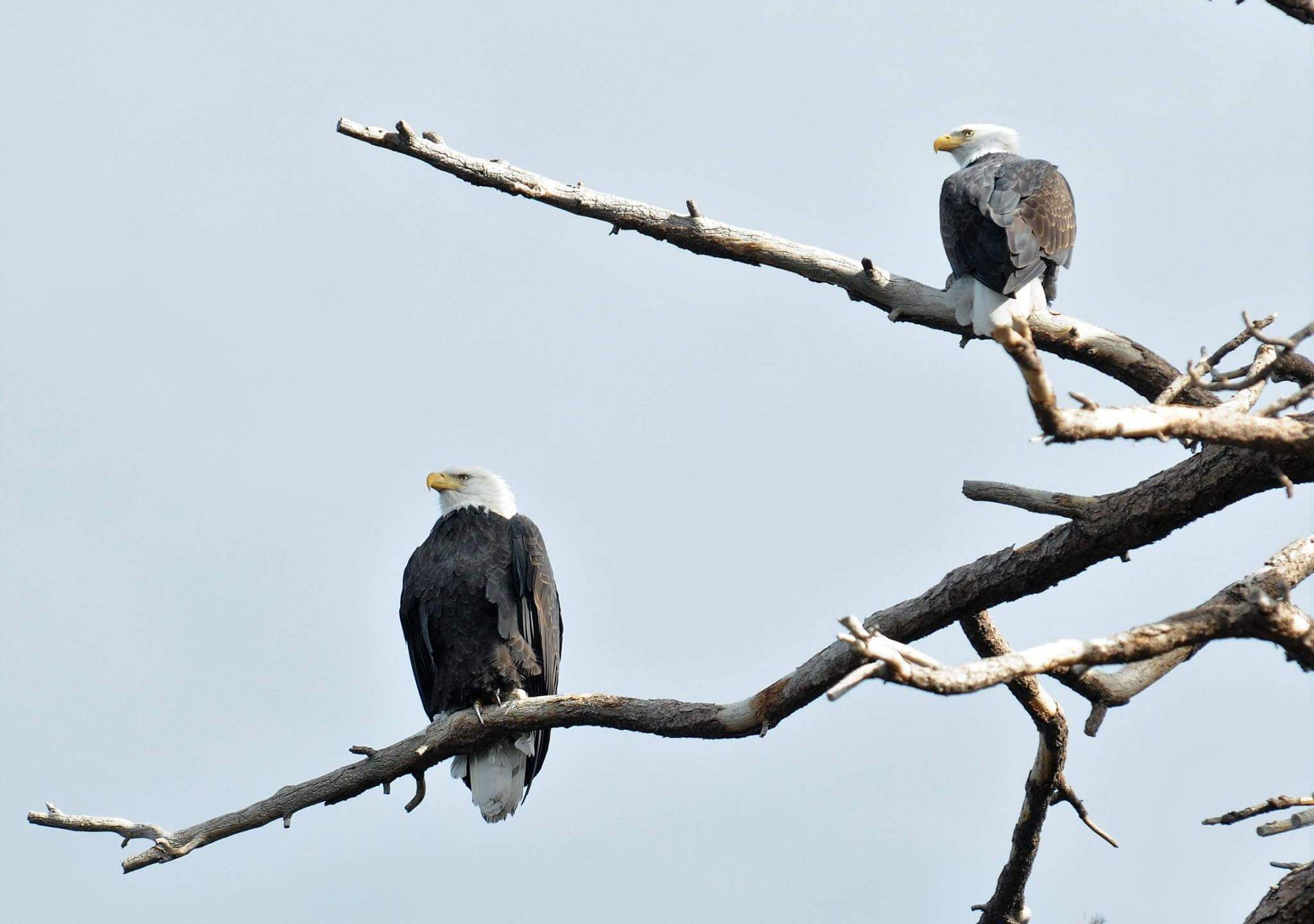 A male and female bald eagle perch on branches in Big Bear Lake on Dec. 9, 2017, in this photo released by the San Bernardino National Forest.