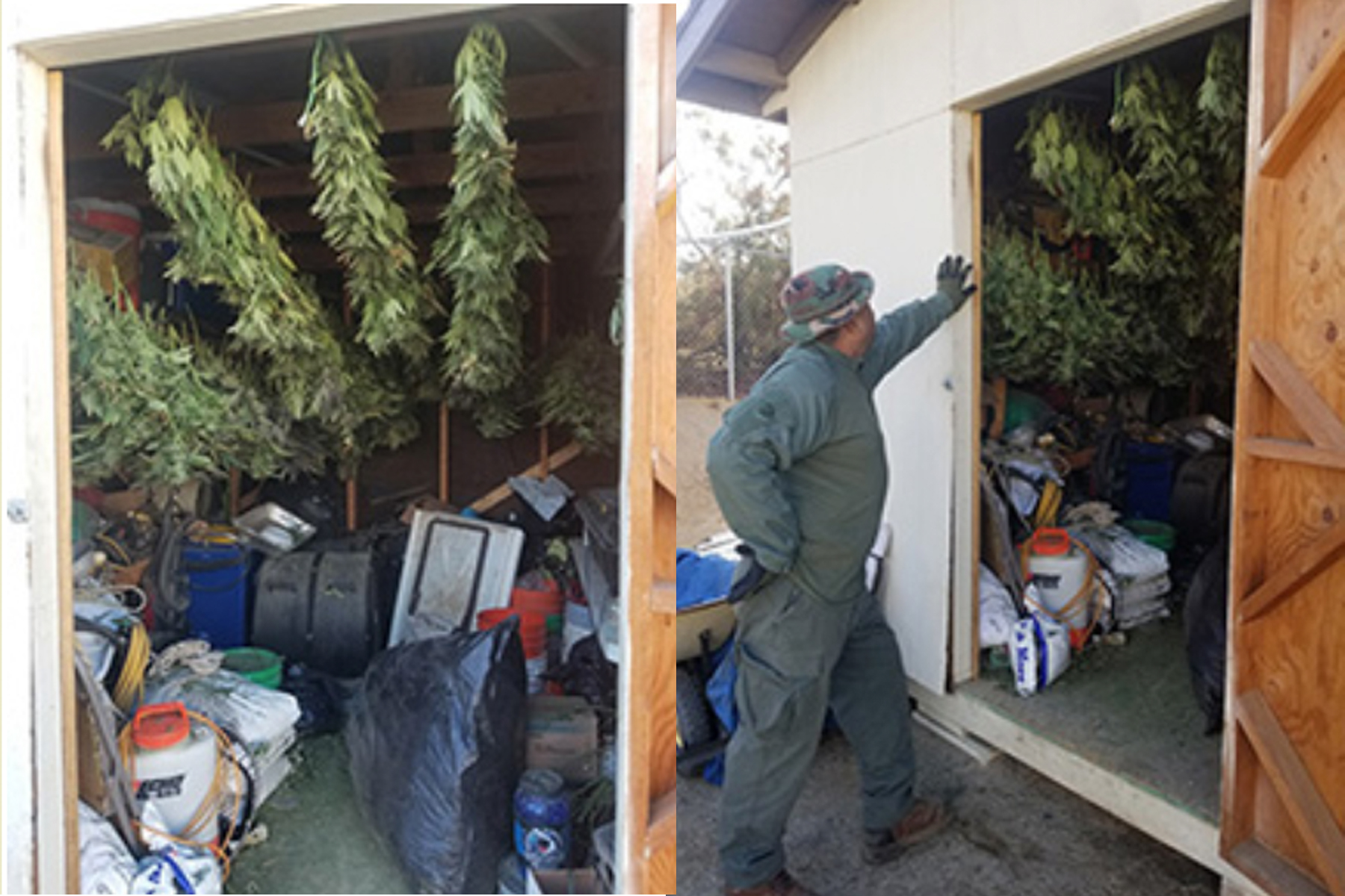 Marijuana grown illegally in Anza on Nov. 26, 2019. (Credit: Riverside County Sheriff's Department)