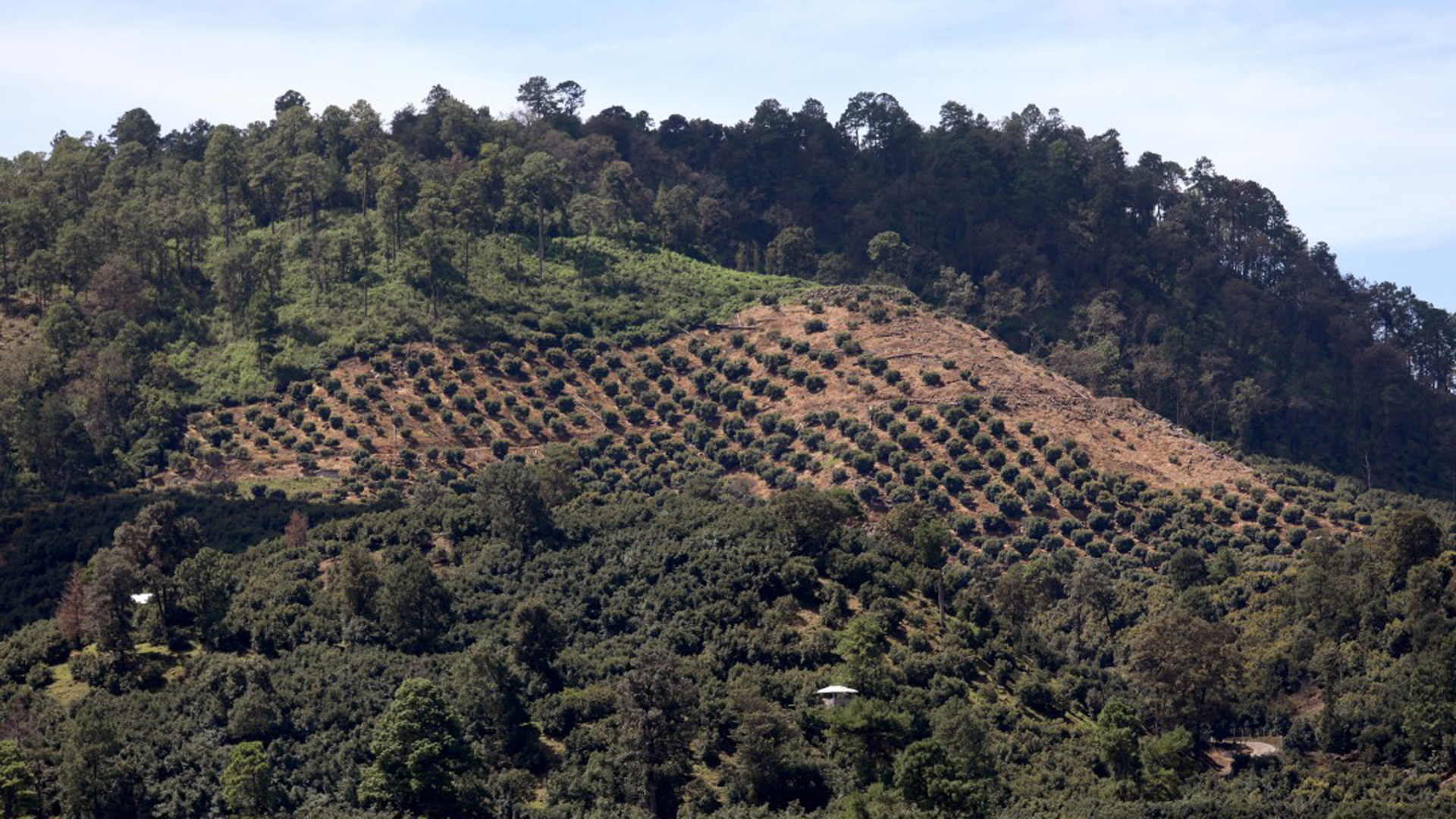 Avocado groves carved into the hillside outside the city of Uruapan, where cartels have evolved beyond drug trafficking and now prey on the avocado trade. (Credit: Gary Coronado / Los Angeles Times)