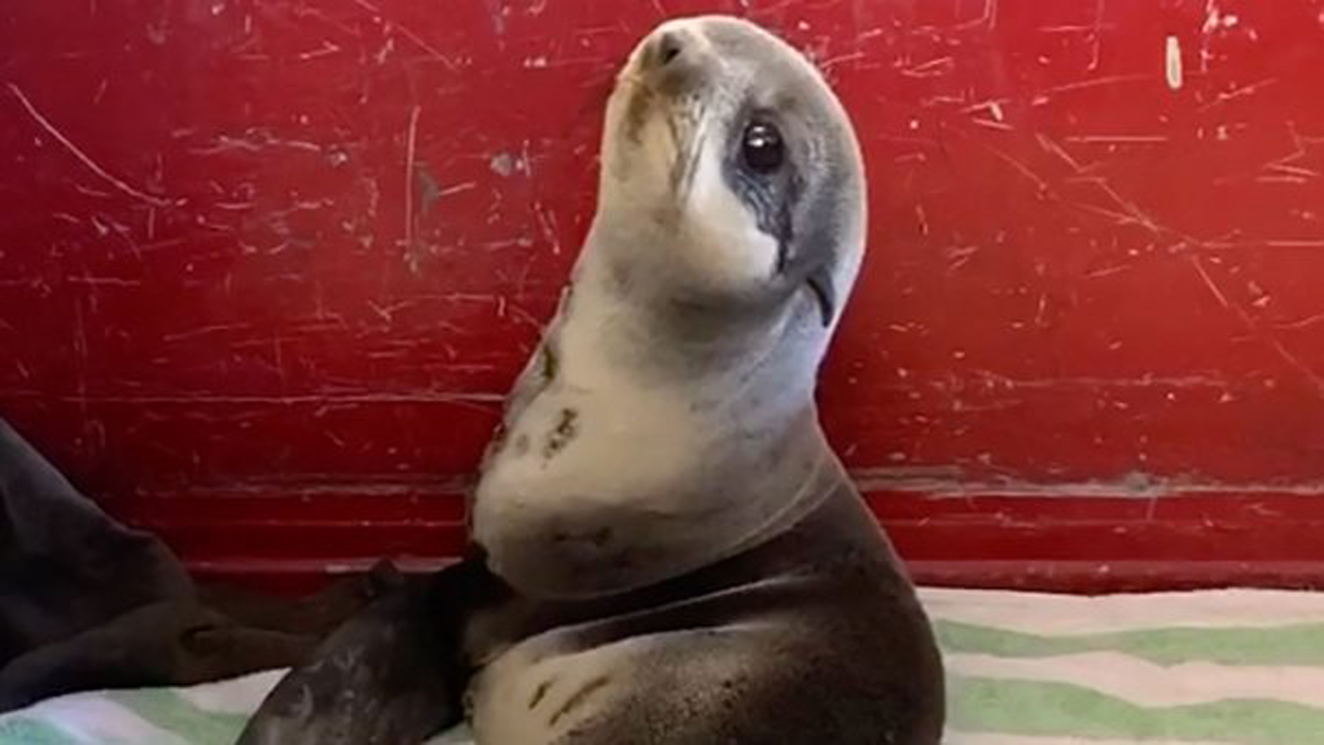 Santos, a delightfully cute northern fur seal, was rescued from a parking deck on Sunday. (Redwood City Fire Department)