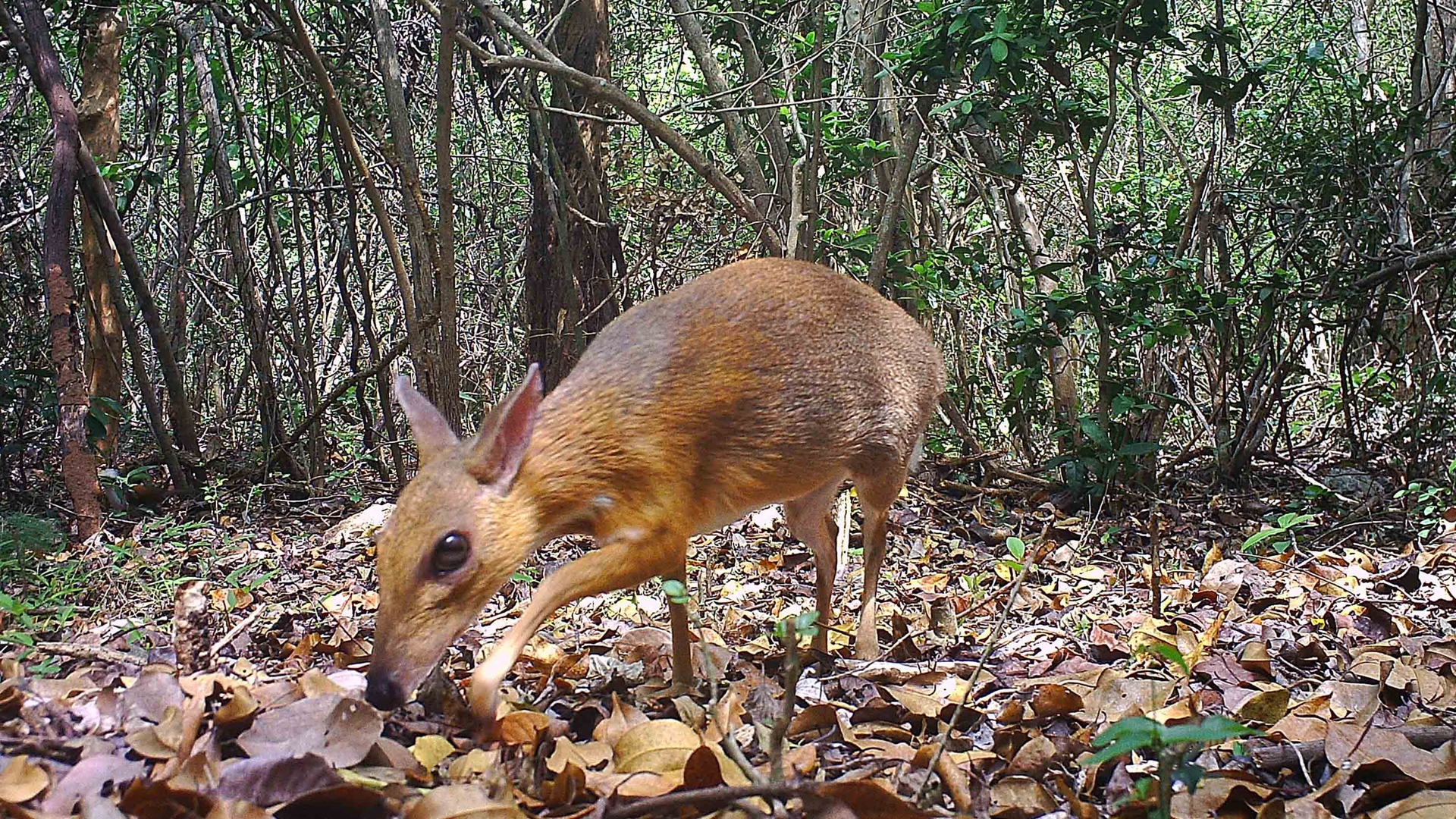 A camera trap photo of a silver-backed chevrotain, a deer-like creature that was thought lost to science but has been discovered living in the wild in Vietnam. (Credit: Southern Institute of Ecology/Global Wildlife Consesrvation/Leibniz Institute/NCNP)