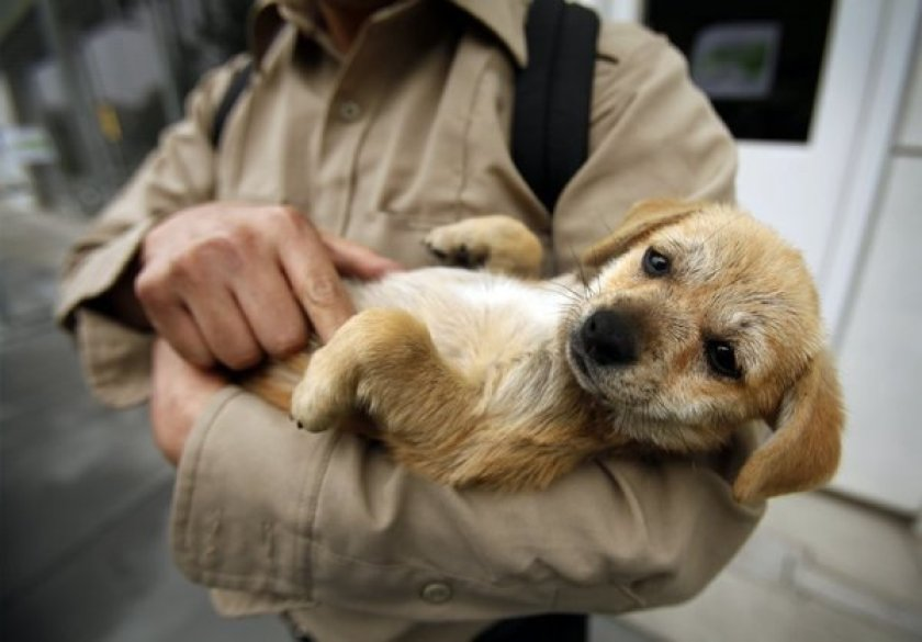 A 3-month-old Chihuahua mix is cradled by a possible adopter at the Chesterfield SquareAnimalServicesCenter in this file photo. (Credit: Los Angeles Times)
