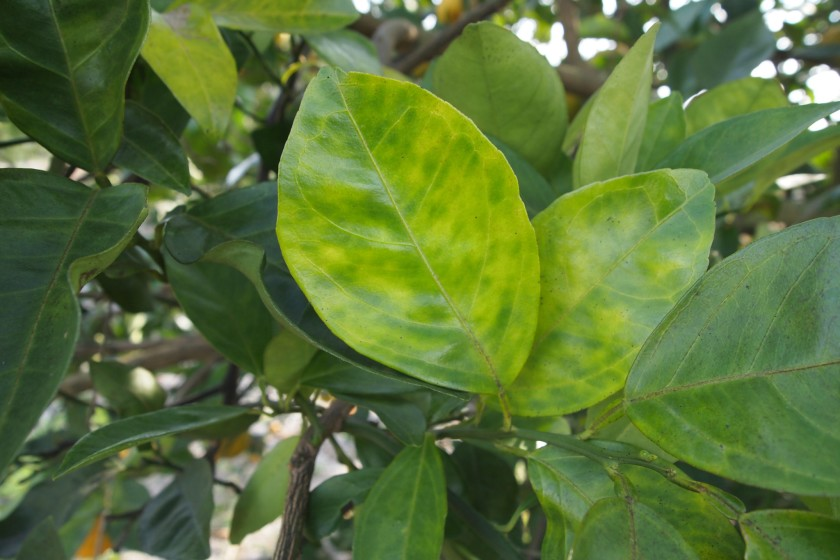 Blotchy mottle is seen on citrus leaves infected by Huanglongbing, a deadly citrus disease. (Credit: Citrus Research Board via Los Angeles Times)