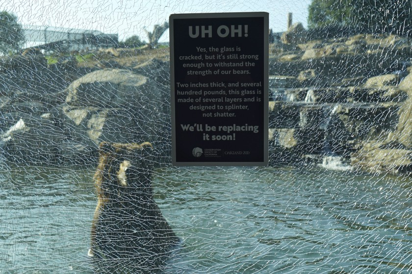 A grizzly bear in the water behind damaged glass at the Oakland Zoo.(Credit: Oakland Zoo via Los Angeles Times)