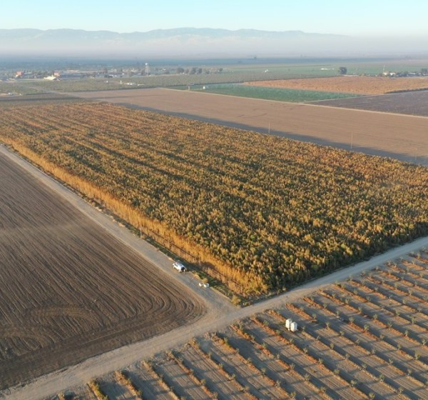 What Kern County officials say is a field of marijuana plants in Arvin is seen in an undated photo. (Credit: Kern County Sheriff's Office)
