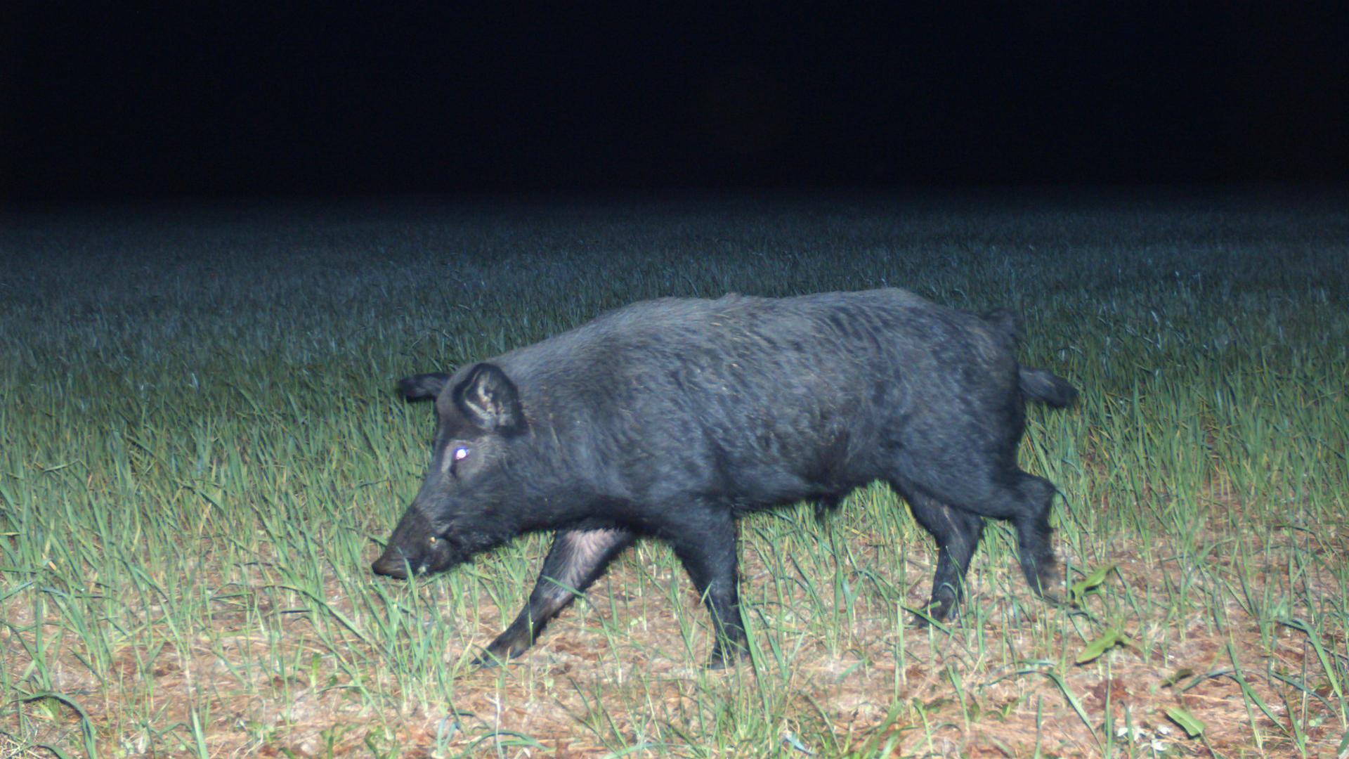 Feral hog pictured on Nov. 25, 2019. (Credit: Florida Fish and Wildlife/Flickr)