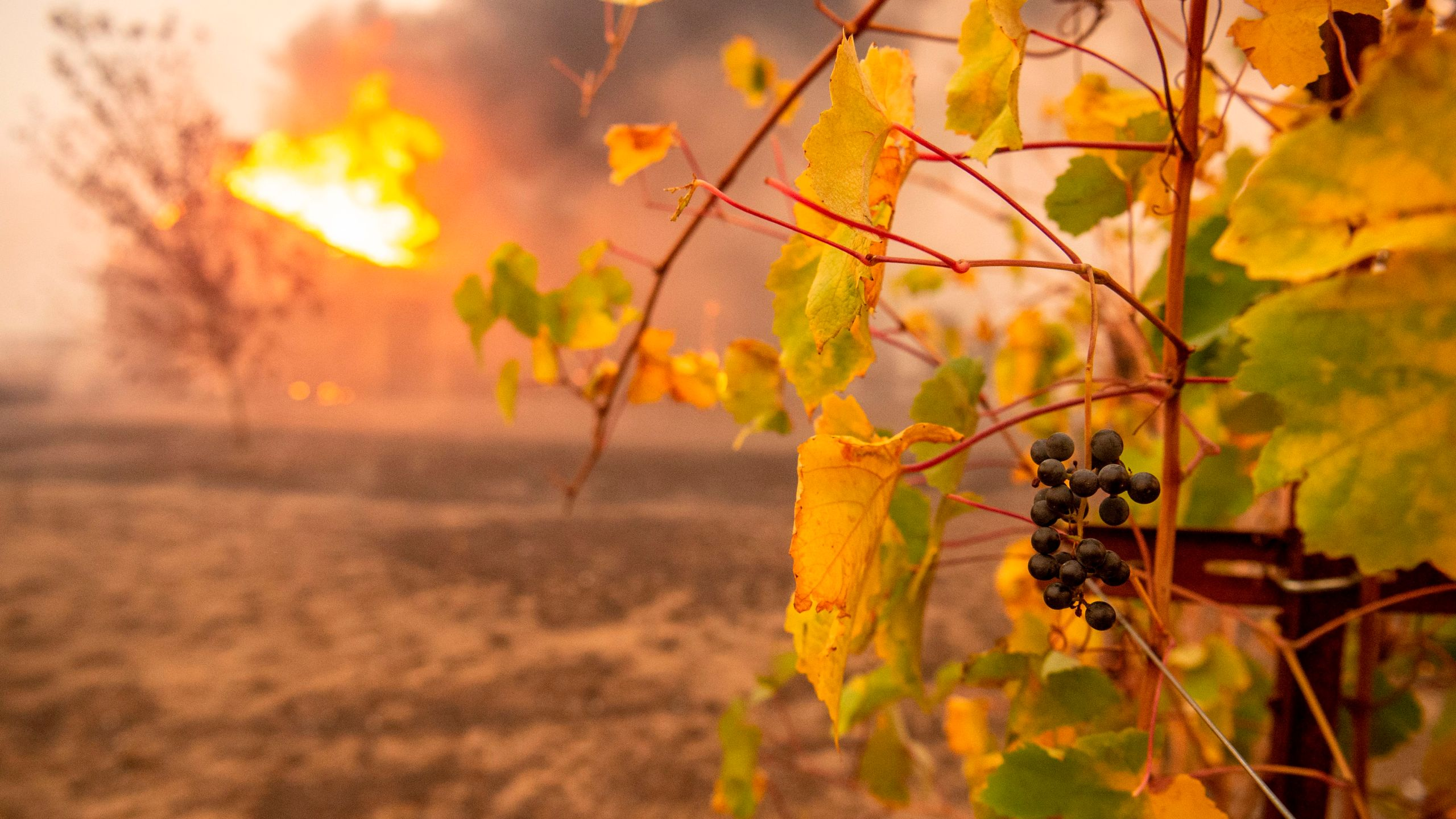 Partially charred grapes hang at a vineyard as a building burns during the Kincade Fire near Geyserville, California, on Oct. 24, 2019. (Credit: Josh Edelson /AFP via Getty Images)