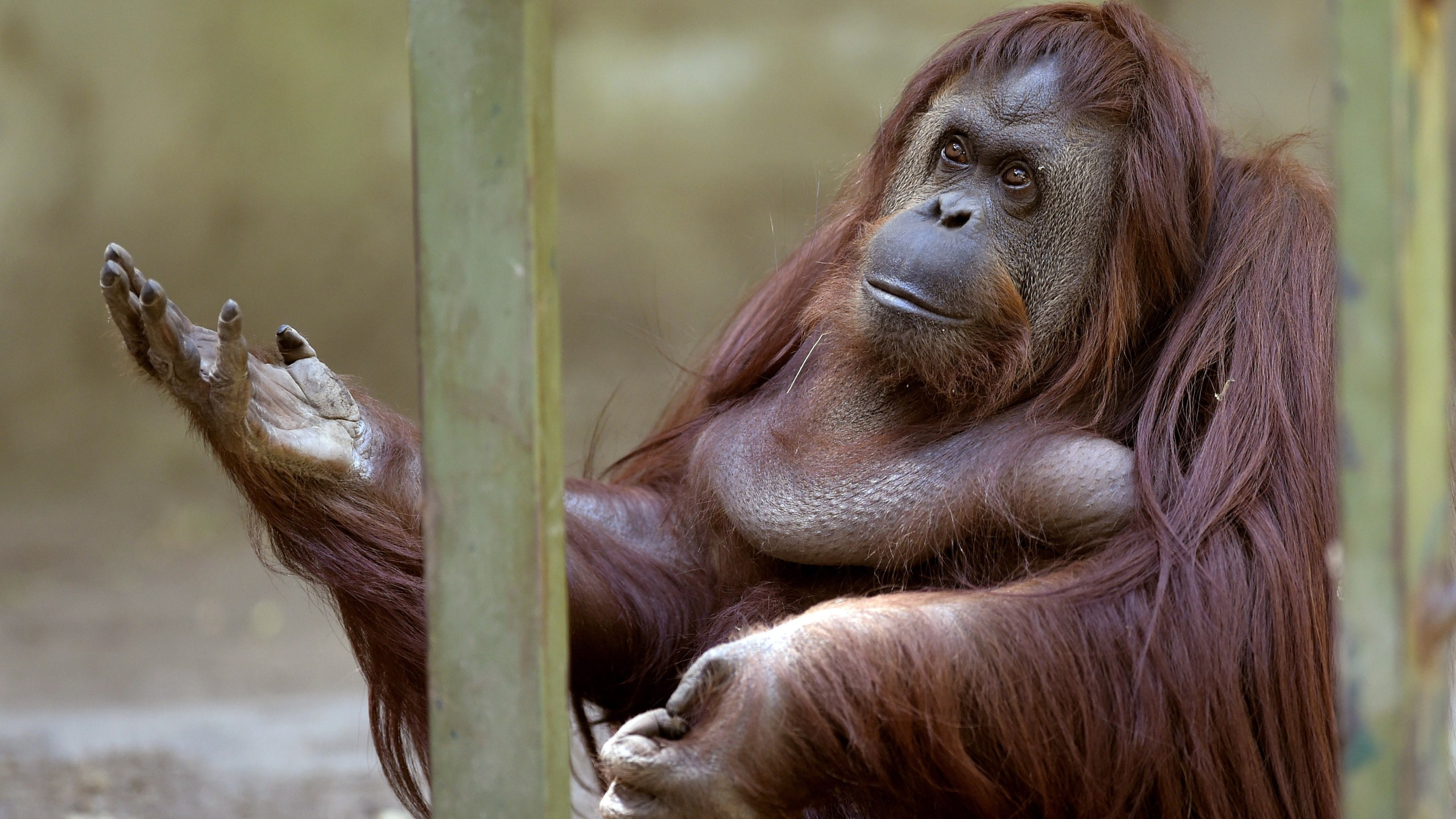 Sandra the orangutan is pictured at Buenos Aires' zoo, on Dec. 22, 2014. (Credit: Juan Mabromata/AFP via Getty Images)