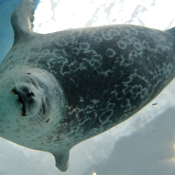 A ringed seal swims in a water tank on July 26, 2013. (Credit: KAZUHIRO NOGI/AFP/Getty Images)
