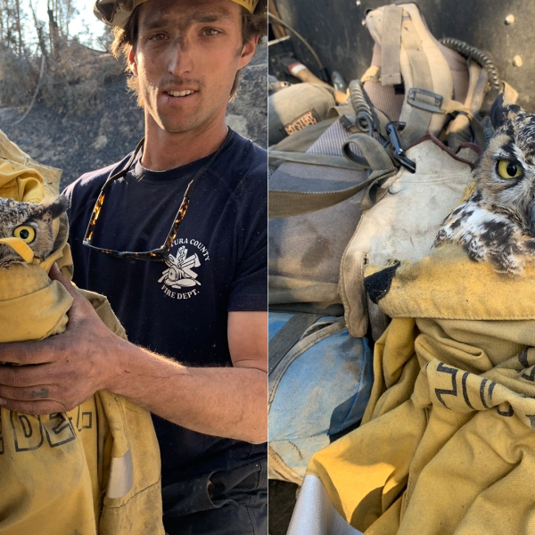 The Ventura County Fire Department shared these photos of an owl rescued by firefighters on Nov. 2, 2019.