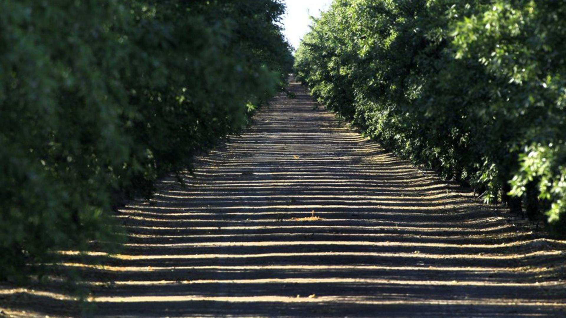 Sunlight seeps through an almond grove in the Westlands Water District in 2014. (Brian van der Brug / Los Angeles Times)