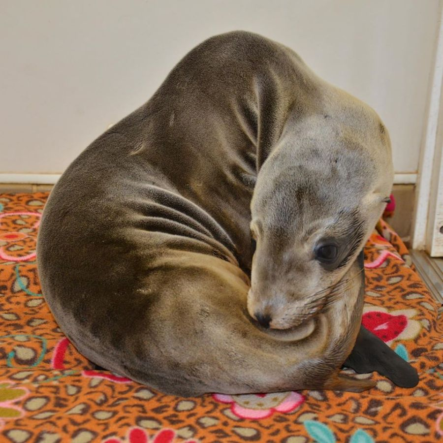 Lords-a-Leaping recovers at the Pacific Marine Mammal Center in this photo released by the group on Dec. 24, 2019.