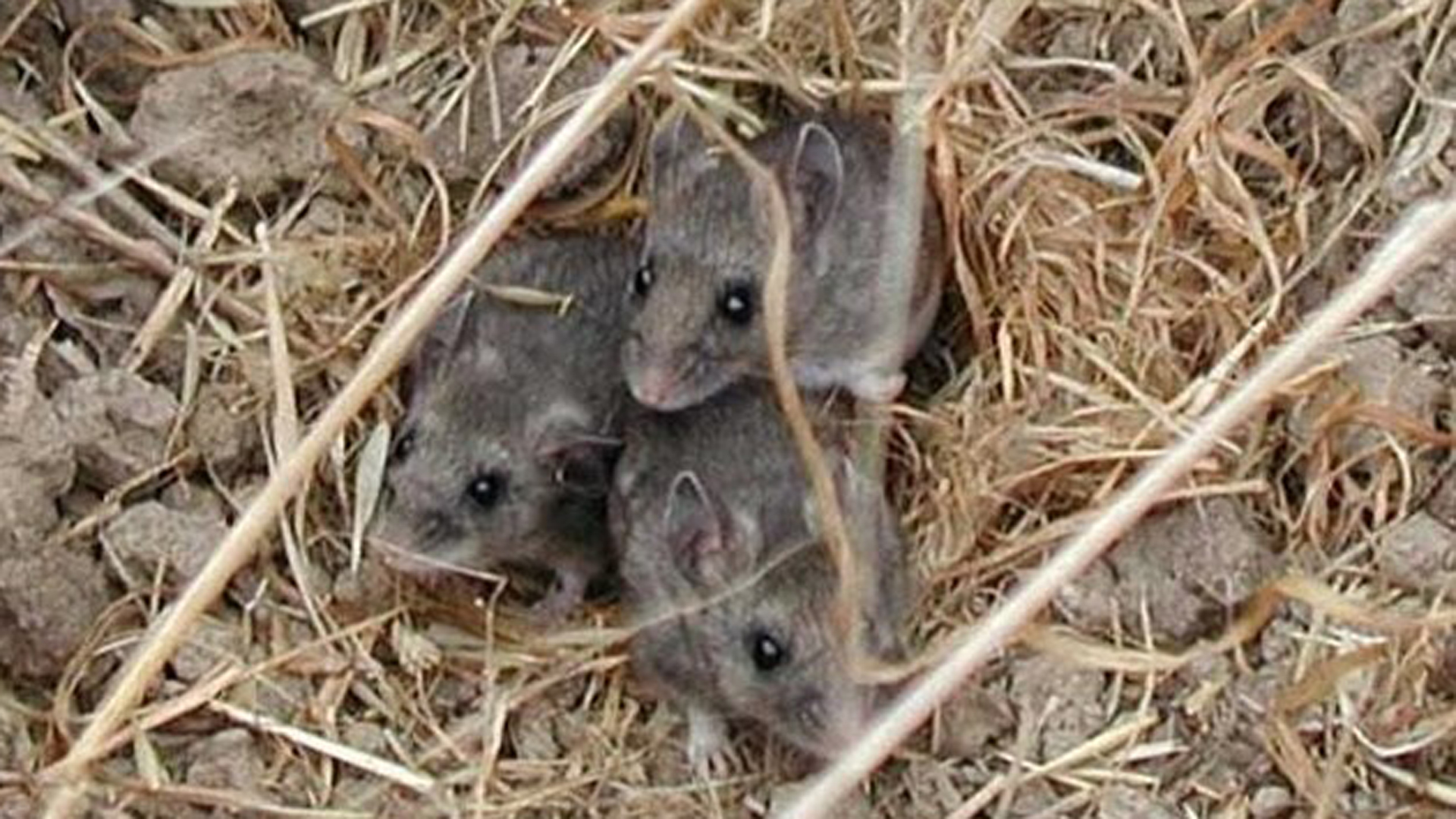Island deer mice are seen on Santa Barbara Island in this undated photo released by the National Park Service.