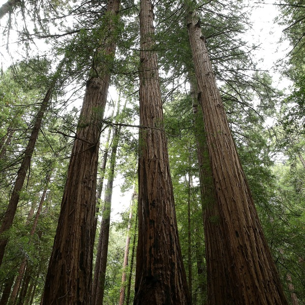 Coastal Redwood trees stand at Muir Woods National Monument in Mill Valley on Aug. 20, 2013. (Credit: Justin Sullivan/Getty Images)