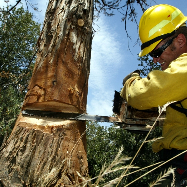A U.S. Forest Service crew member cuts down a drought-weakened cedar tree on July 23, 2003, near Idyllwild. (Credit: David McNew/Getty Images)