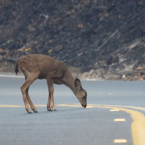 A deer wanders on the road on Oct. 12, 2017 in the hills above Santa Rosa. (Credit: ROBYN BECK/AFP via Getty Images)