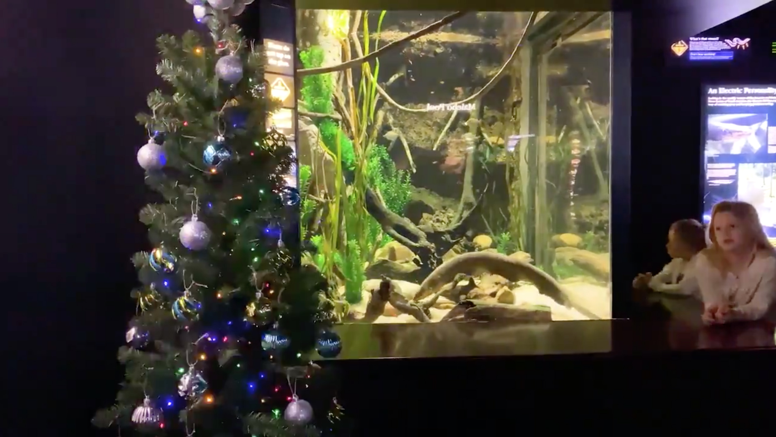 Miguel Wattson, an electric eel that resides in the aquarium's Rivers of the World gallery, not only tweets from his account, which currently has more than 38,000 followers -- he earns his keep by powering a Christmas tree at the aquarium. (Credit: CNN)