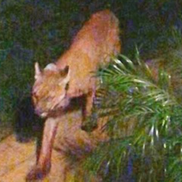 A surveillance image shared with KTLA shows the mountain lion believed to be involved in the Simi Valley attacks.